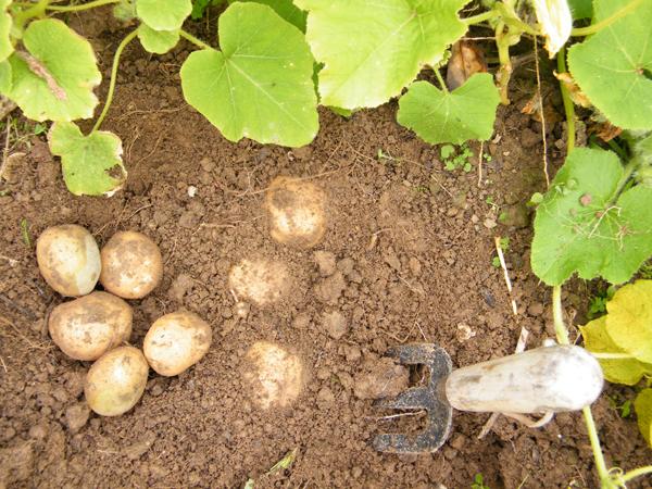 PotatoesInDirt