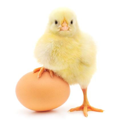ChickWithEgg_Dollar62115459