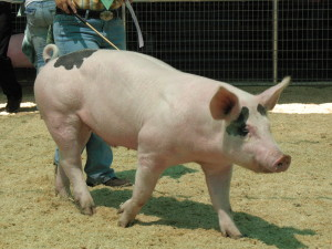 Managing Weight Gain in Pigs :: Standley Feed and Seed
