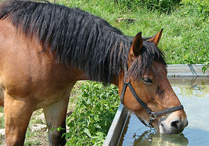 Français : Cheval en train de boire. English: ...