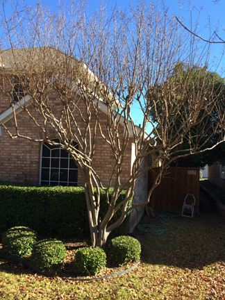 Pruning Crape Myrtle Trees