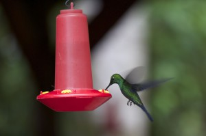 Hummingbird2_CatePhoto