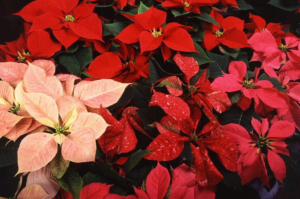 holiday plant care