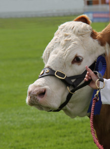 The Head of a Cattle Champion Simmental Cow.